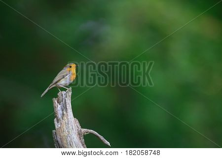 Robin standing on a dead peace of tree