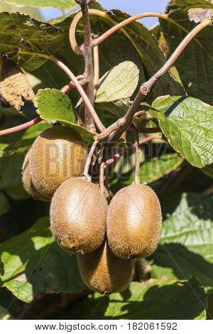 kiwi on a kiwibaum