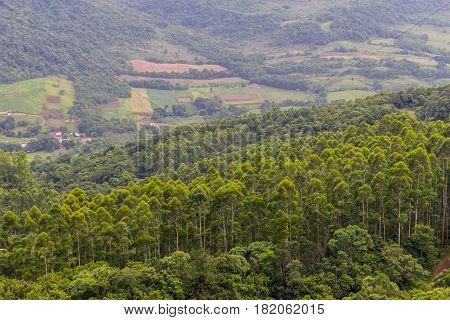 Eucalyptus Forest In Morro Do Gaucho Mountain Vegetation