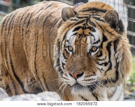 The Siberian tiger (Panthera tigris altaica) also called Amur tiger is a tiger subspecies inhabiting mainly the Sikhote Alin mountain region with a small population in southwest Primorye Province in the Russian Far East.
