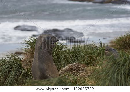 Young Southern Elephant Seal (Mirounga leonina) looking out from the tussock grass on the coast on Sealion Island in the Falkland Islands.