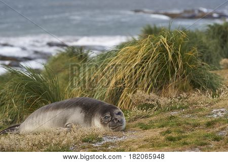 Young Southern Elephant Seal (Mirounga leonina) in the tussock grass above the coast on Sealion Island in the Falkland Islands.