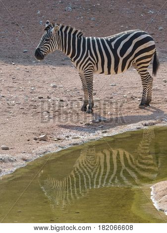 Zebras are several species of African equids (horse family) united by their distinctive black and white striped coats.