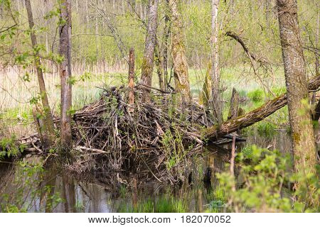 Beavers lodge in springtime, Bialowieza Forest, Poland, Europe