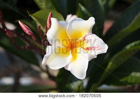 White tropical asian flower Plumeria - Thailand symbol