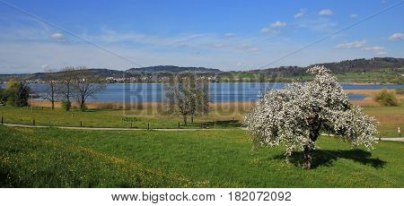 Arrival of spring at lake Pfaffikon. Chery blossom. Landscape in Zurich Canton Switzerland.