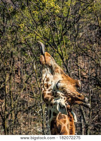 The Masai giraffe (Giraffa tippelskirchi) also spelled Maasai giraffe also called Kilimanjaro giraffe is the largest species of giraffe and the tallest land mammal