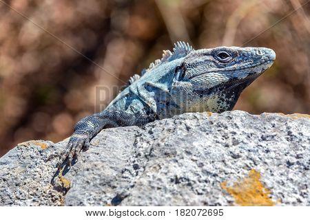 Iguana In Ek Balam