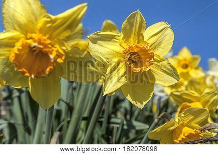 Pretty yellow daffodils against a blue sky in eastern Washington.