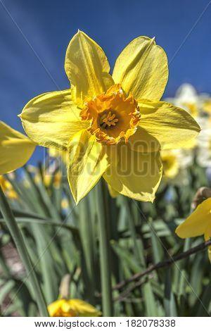 Pretty yellow daffodil against a blue sky in eastern Washington.