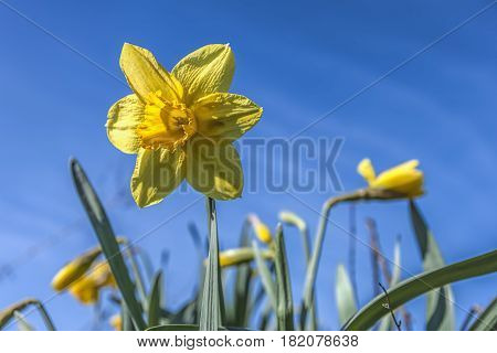 Pretty yellow daffodil in the blue sky in eastern Washington.