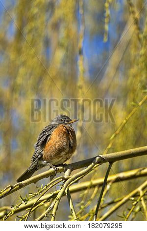 Robin is perched on a twig in eastern Washington.