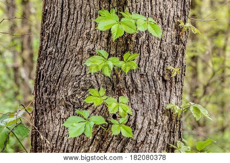 Vines growing on the side of a tree.