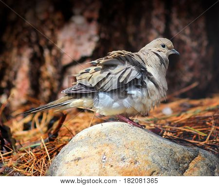 Mourning Dove Fluffing His Feathers on a Rock