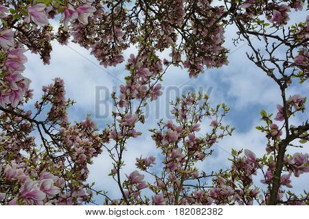 Look upwards to the magnolias blossoms   (  Magnoliaceae  )