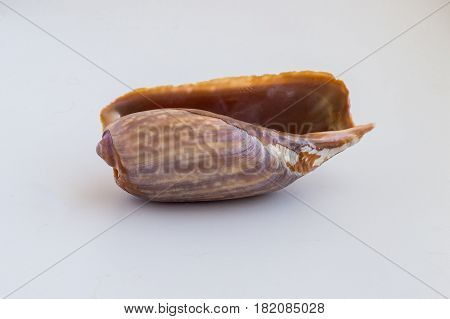 Beautiful Sea Shell From Morroco On A White Background