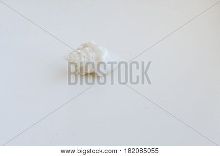 Beautiful Sea Shell Conus Geographus On A White Background