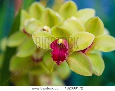 Closeup of Cymbidium Orchid Flower . .