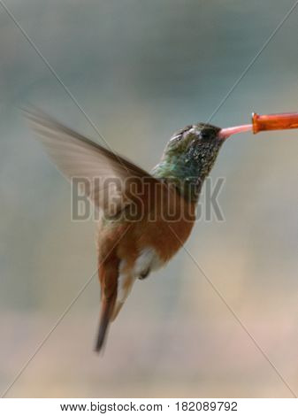 Hummingbirds are birds from the Americas that constitute the family Trochilidae. They are among the smallest of birds most species measuring 7.5-13cm (3-5in). Indeed the smallest extant (not extinct) bird species is a hummingbird the 5-cm bee hummingbir