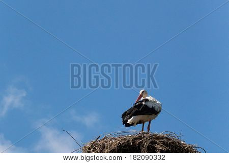 The white stork (Ciconia ciconia) is a large bird in the stork family Ciconiidae. Its plumage is mainly white with black on its wings.