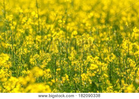 Oilseed Rapeseed Flowers in Cultivated Agricultural Field