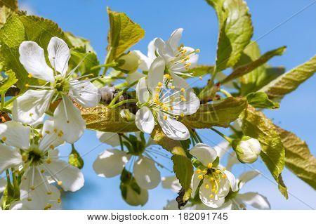 Blossoming branch of a plum tree in a spring garden on the background of blue sky macro. Selective focus