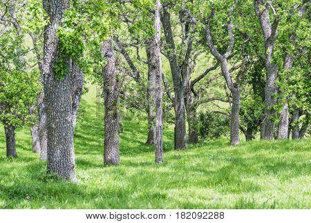 Oak Trunks: oak tree trunks, among tall green grass