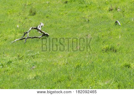 Dead Branches in Springtime: a lush green meadow with dead branches