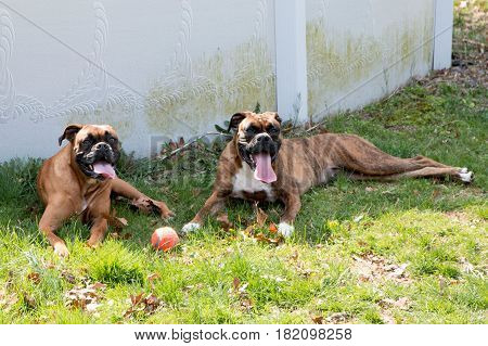 Two female boxer dogs are lying in the shade next to a pool on a very hot afternoon