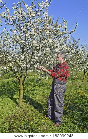 A middle-aged farmer in Serbia analyzes flower cherry orchard.