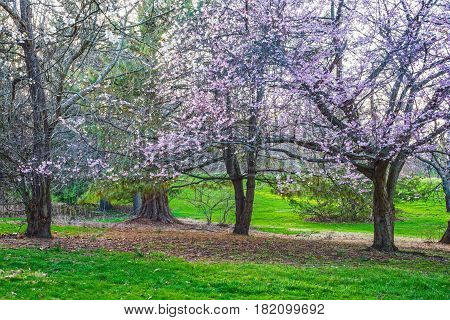 Bright green grass and cherry blossoms of early Spring in Holmdel Park in NJ.