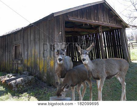 Mule deer does eating in front of old barn