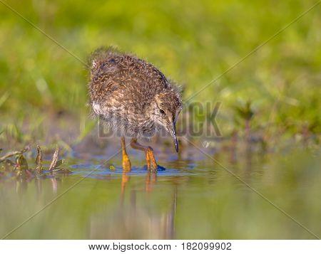 Black-tailed Godwit Wader Bird Chick Wading