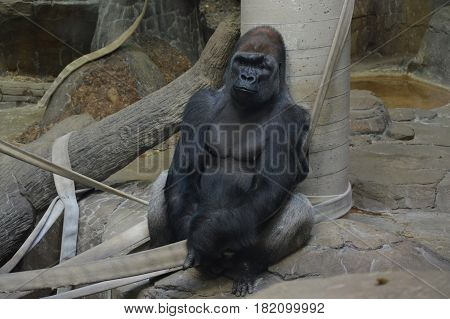 A lowland western gorilla sitting on a rock