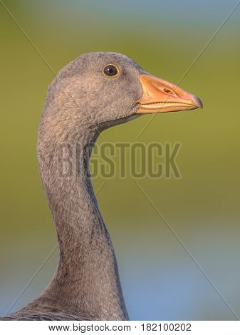Friendly Bird Head Portrait Of Greylag Goose