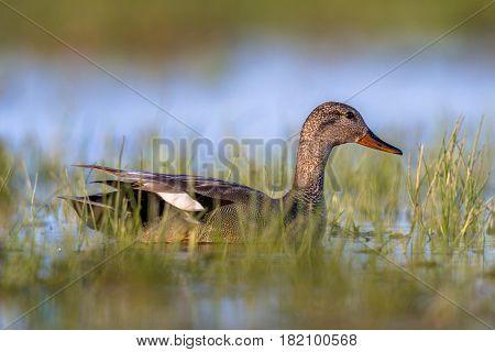 Male Gadwall Swimming In Wetland