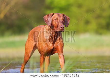 Portrait Of A Rhodesian Ridgeback At A Pond