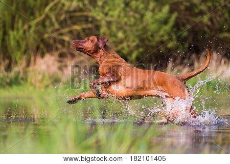 Rhodesian Ridgeback Running Through The Water