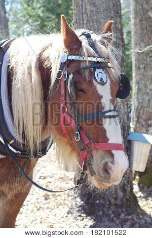 farm horse portrait with blinkers red muzzle