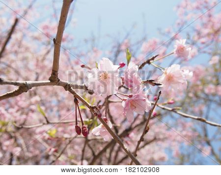 Beautiful pink drooping cherry tree in spring