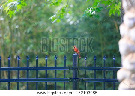 A make Cardinal hanging out in the fence in our backyard.