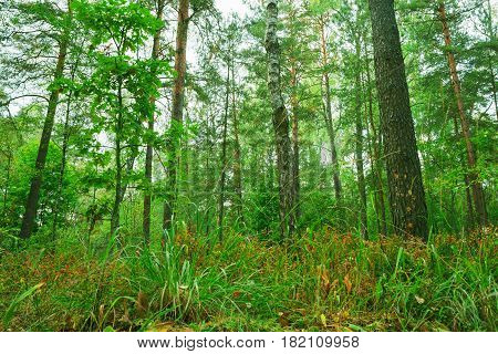 Beautiful wild forest. Nature trees in morning woods.