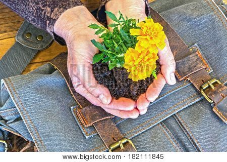 Hands Holding Marigolds in Dirt With Blue Satchel on Wooden Table