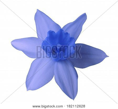 blue daffodil flower on white isolated background with clipping path. no shadows. Closeup. Nature.