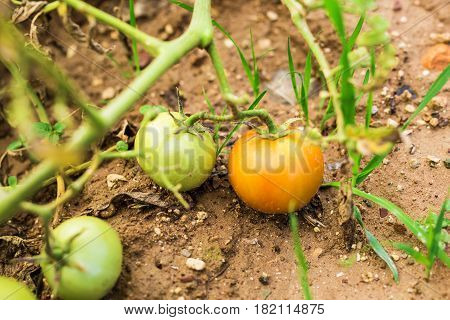 Growing the tomatoes. Unripe tomatoes in the vegetable garden