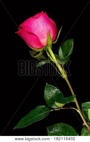 Red rose flower with dew in black background, studio image