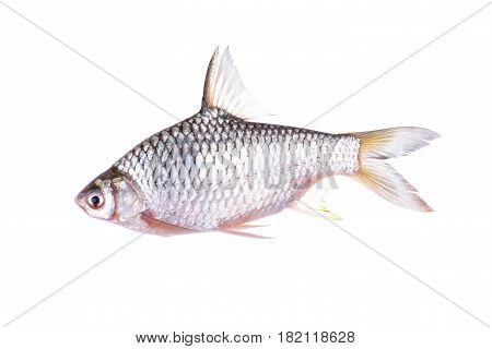 whole round silverbarb fish on white background