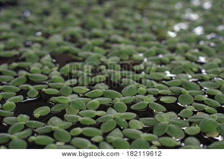abstract of green duckweed texture for background used