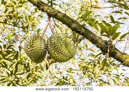 Fresh Durian On Its Tree Branch