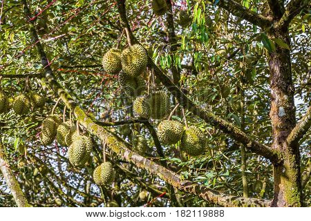 Fresh Durian On Its Tree